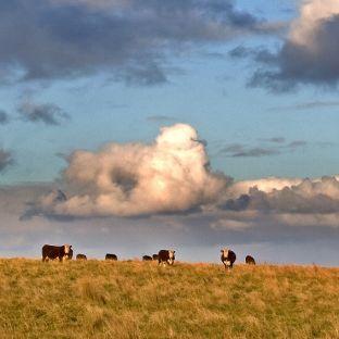 cows under sky